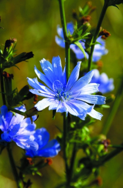blue flower of chicory plant